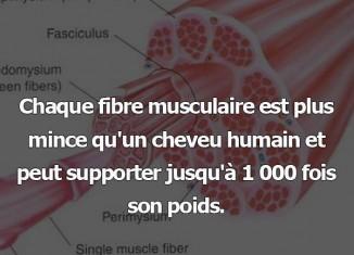 fibre musculaire poids