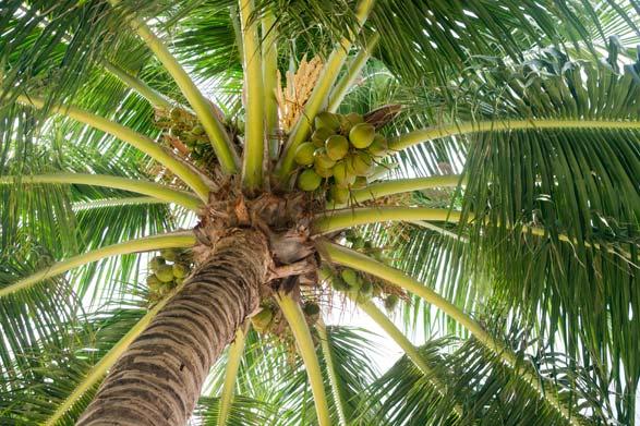 cocotier graisse coco