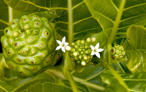noni fruit bienfaits